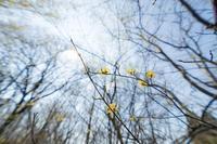 神代の3月〜山茱萸(サンシュユ) - 柳に雪折れなし!Ⅱ