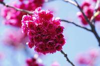 寒緋桜   鶯 - 生きる。撮る。