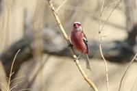 ベニマシコ明るい葦原 - 気まぐれ野鳥写真