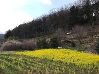 河津桜@ときがわ町 - ヒビノコト。