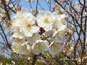 暖地桜桃(ダンチオウトウ)が開花しています。 - デジカメ散歩悠々
