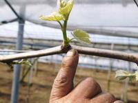 熊本ぶどう社方園芽吹き2019後編:フカフカの土と芽キズ作業で元気な新芽を芽吹かせました - FLCパートナーズストア
