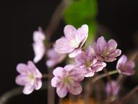 雪割草(2) - 花ごよみ~山野草に魅せられて~