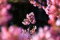 桜2019!~淀水路~ - Prado Photography!