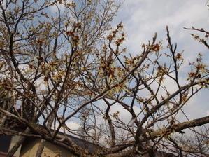 まんさくの花 - 「木の家」が出来るまで 週刊写真日記