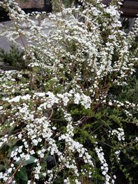白い小花が沢山・・・ - 【出逢いの花々】