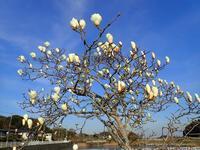 ハクモクレン白木蓮 - 里山の四季