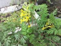 深山黄華鬘 - だんご虫の花