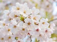 春分とは(大杉) - 柚の森の仲間たち