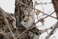 北の大地遠征1日目 最高に可愛い(*^^*)「エゾモモンガ」さん♪byミント編 - ケンケン&ミントの鳥撮りLifeⅡ