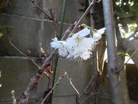 サクランボの花 - 花空間PHOTO