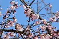 季節物【ニュウナイスズメ・コミミズク・ハイタカ】 - 鳥観日和