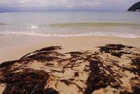 ど~んと、なのりそ(ホンダワラ類) - Beachcomber's Logbook