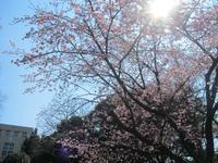 弘明寺の早咲き桜 - 神奈川徒歩々旅