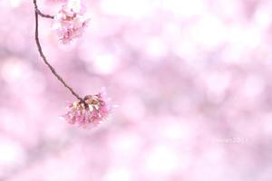 河津桜の季節到来~! in 宇都宮城址公園 - 日々の贈り物(私の宇都宮生活)