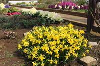 ミニ水仙満開&ハボタンもりもり2019年3月中旬のマンション花壇 - ニッキーののんびり気まま暮らし