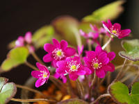 雪割草(3) - 花ごよみ~山野草に魅せられて~