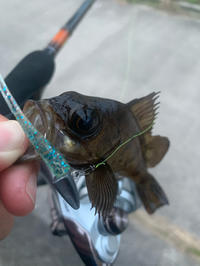 プラグで釣ったぁぁぁぁぁぁ‼️‼️‼️ - 広島の〜中学生Seabass angler