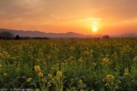 菜の花畑の夕日2月25日 - ratoの山歩き