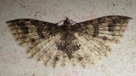 マダラニジュウシトリバ (斑二十四鳥羽?) Pterotopteryx spilodesma - 写ればおっけー。コンデジで虫写真