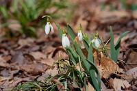赤城自然園の早春の花 - 上州自然散策2