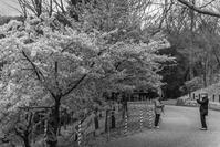 早咲きの桜をバックにあいにくの雨 - え~えふ写真館