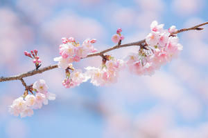 大船フラワーセンターの大寒桜と春めき - エーデルワイスPhoto