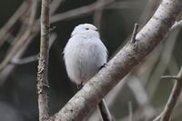 シマエナガほか - 今日の鳥さんⅡ