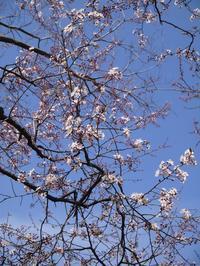 紅葉李に桜桃に - park diary