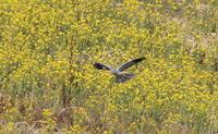 ハイイロチュウヒその29(菜の花絡み⑥) - 私の鳥撮り散歩