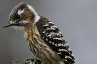 コゲラのオスくん - 鳥と共に日々是好日