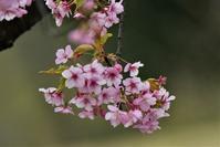 桜とヒヨドリさん - 鳥と共に日々是好日