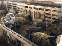 サフォーク羊の出産ピーク - ひとり野鳥の会