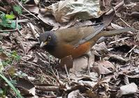 オオアカハラ(子供の森) - くまさんの二人で鳥撮り