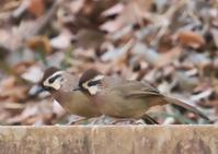 ガビチョウ(前橋市郊外) - くまさんの二人で鳥撮り
