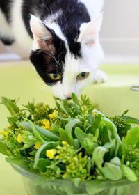 菜の花食べる? - 猫と夕焼け