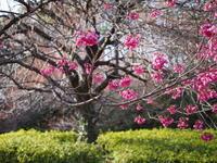 寒緋桜 - エンジェルの画日記・音楽の散歩道