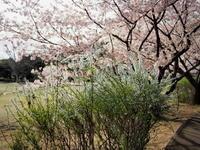 ユキヤナギ - エンジェルの画日記・音楽の散歩道