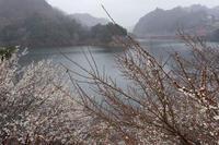 雨の月ヶ瀬~湖畔 - katsuのヘタッピ風景