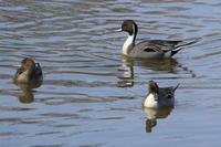 タンチョウ今日は沼で - 今日の鳥さんⅡ