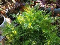 ギリアの明暗と庭の様子 - natural garden~ shueの庭いじりと日々の覚書き