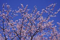 彼岸桜 - 生きる。撮る。