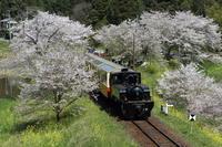 桜と菜の花と黒い機関車- 2017年・小湊鉄道 - - ねこの撮った汽車