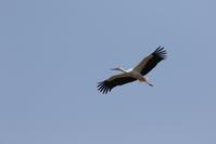 コウノトリの飛翔 - 私の鳥撮り散歩