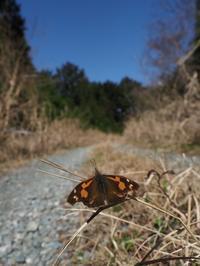 暖かな日にやっと出会えたコツバメ - 蝶超天国