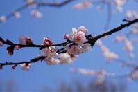 アンズの花♪ - Let's Enjoy Everyday!