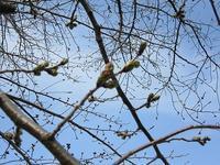 桜開花まだ - さかえのファミリー
