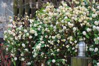 3/19香りの庭と剪定枝で挿し木 - 「あなたに似た花。」