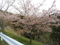 葉桜になってもきれいな河津桜! - 柴まみママの大多喜便り