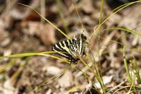 ギフチョウ春の女神との対面 - 蝶のいる風景blog
